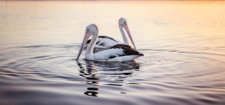 pelicans | Agnes Water Beach Club